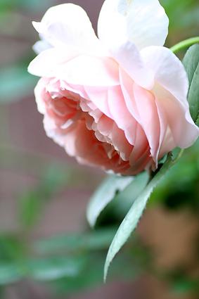 Rose01_1
