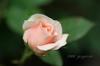 Rose03_2